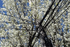 Blossoms_Telephone_Pole