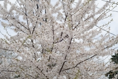Blossoms_and_Wires