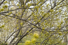 Branches_Yellowish_Buds