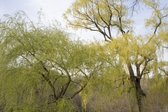 CP_Willow_Trees