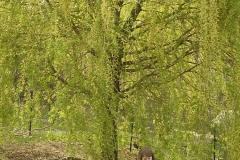 CP_Young_Girl_and_Willow_Tree